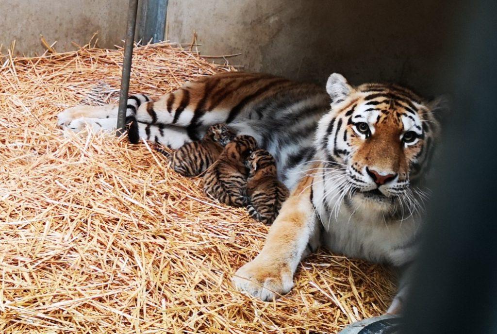 Jonge tijgertjes Aida, Radames en Amneris geboren bij Beekse Bergen